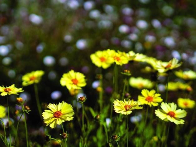Coreopsis grandiflora 'SunKiss'