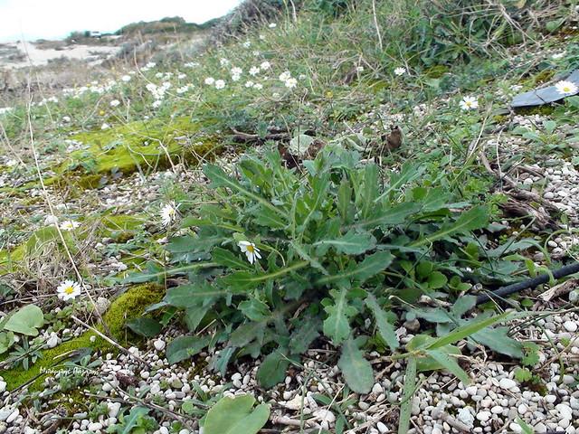 5_Reichardia picroides