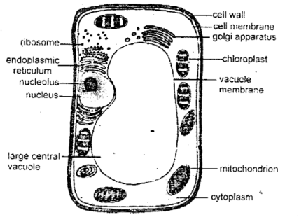 KSEEB Solutions for Class 8 Science Chapter 5 Study of Cells 8.4