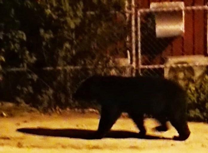 台灣黑熊21日凌晨闖入霧鹿國小校園,村長說這是第一次。照片截取自霧鹿國小臉書。