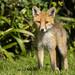 Fox Cub (Vulpes vulpes)