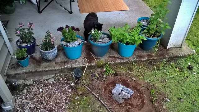 The edge of our porch, with Lillie's fresh grave covered in granitic stones from the North Cascades. A line of plants in pots overlooks it. Our black and white cat Gabby is staring at Lillie's grave through the yellow snapdragon.