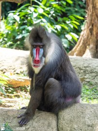 Singapore Zoo - 0658