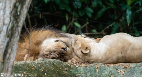 Singapore Zoo - 0653