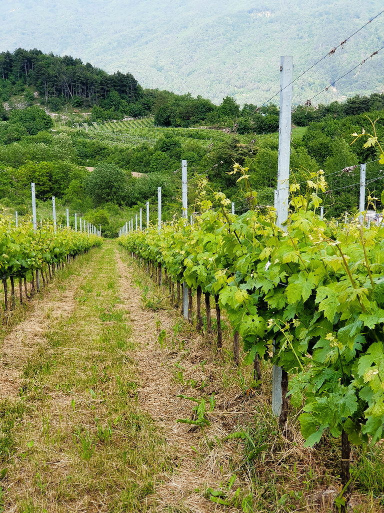 A view of a vineyard