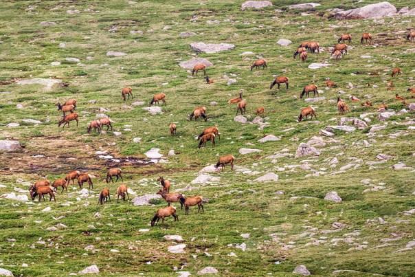Mt. Evans Elk herd