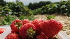 Jordbær #strawberries #halide #affinityphoto #shotwithhalide #shotoniphone #raw