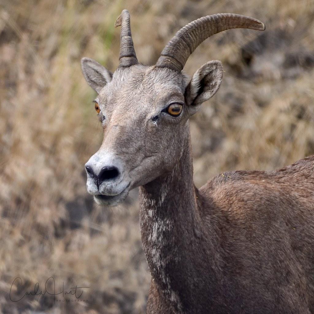 Bighorn Sheep, Vernon, BC