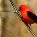 Piranga écarlate \ Scarlet Tanager