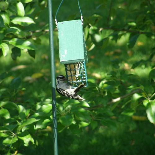 Downey Woodpecker 1