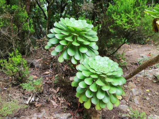 Flora de Tenerife