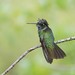Magnificent Hummingbird (male)