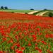 Poppies,  Oxfordshire
