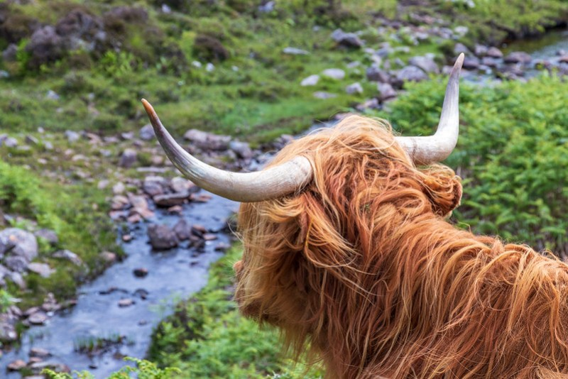 The famous highland coo