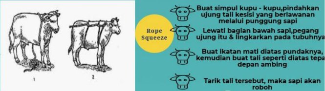 teknik-squeeze-rope-menjatuhkan-sapi