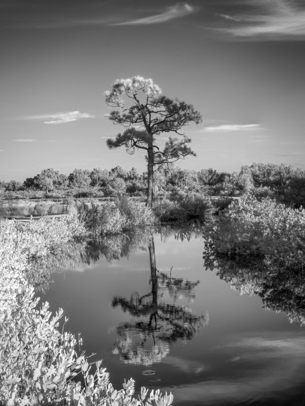 Lone pine between the canal and road