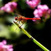 Cardinal Dragonfly on Horsetail 2019