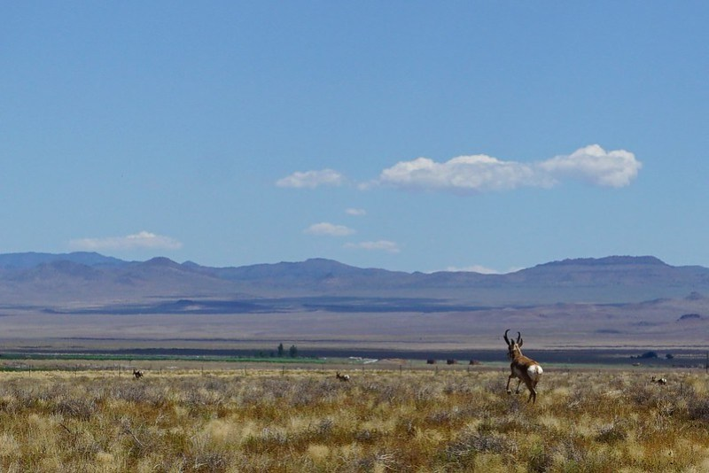 Antelope - Near Area 51 Back Gate - Nevada State Route 375, aka the Extraterrestrial Highway, July 2019