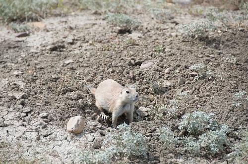 Grasslands National Park West Block - Black Tailed Prairie Dog