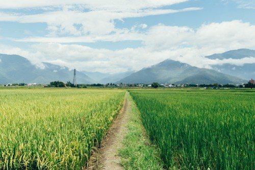 Rice paddies of different harvest levels, Taitung, Taiwan