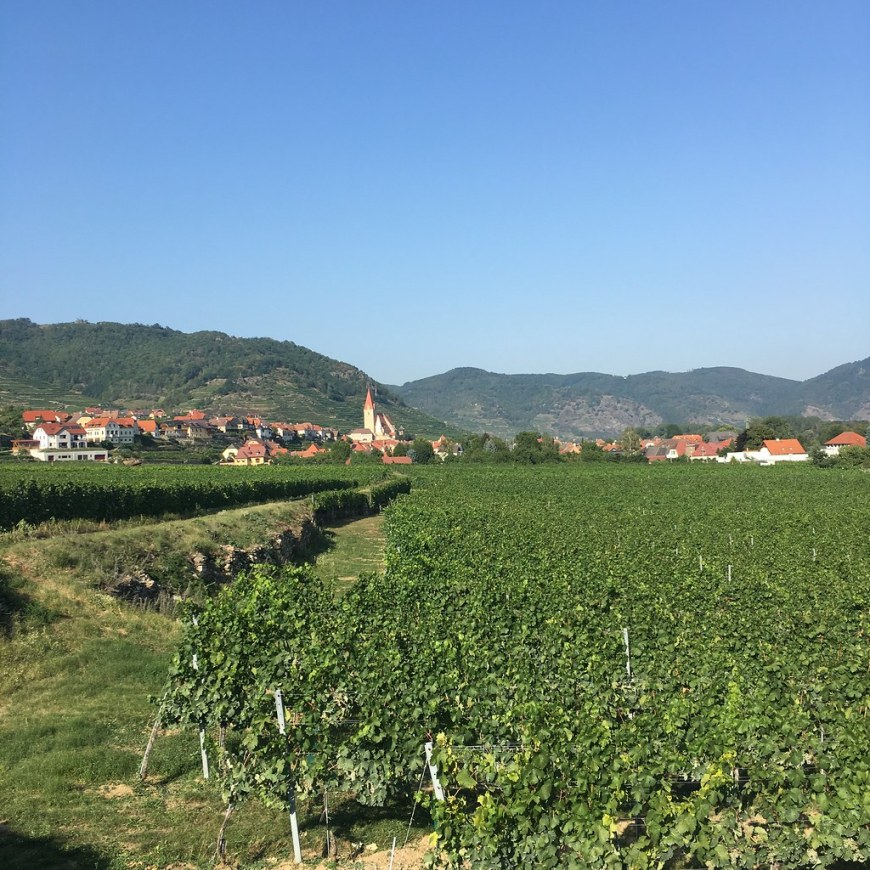 Hundreds of rows of grape vine leading to a village in the background of the photo. The sky in the photo is blue, without a cloud