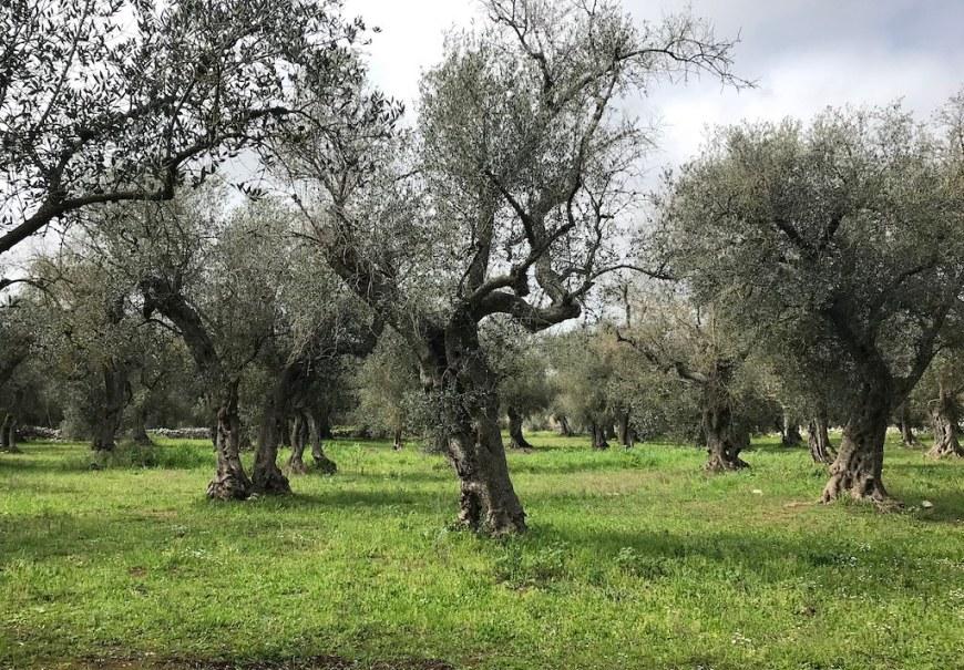An olive tree garden