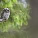 Hawk Owl - Sperbereule