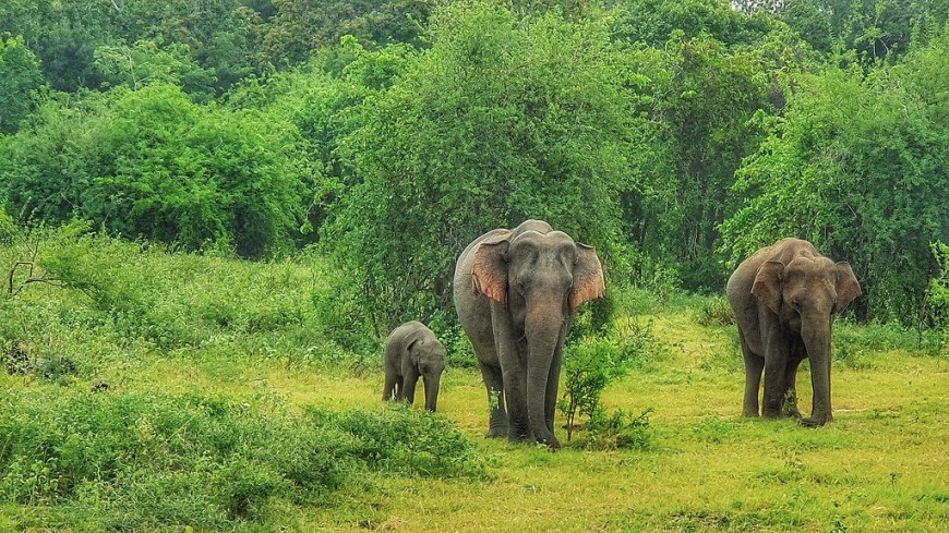 A family of three elephants walking in the national park. The baby elephant is very small, maybe just a few months old. The elephant in the middle has its ears open.