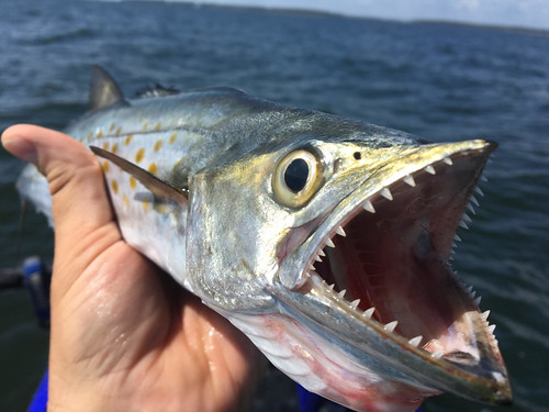 Photo of Spanish mackeral