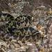 _45A3939 Desert Kingsnake ©Dancing Snake Nature Photography