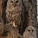 Mother and baby Barred Owls