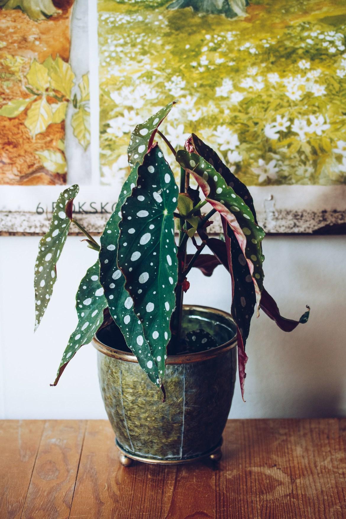 Begonia änglavinge - reaktionista.se