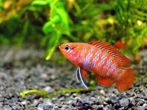 Betta Fish_2b