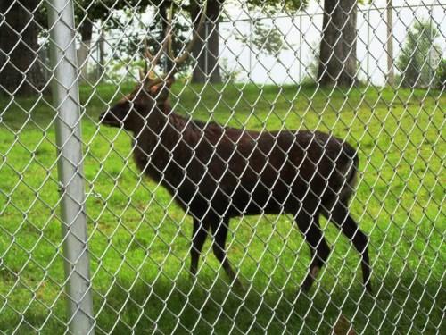 Deer at Grant's Farm