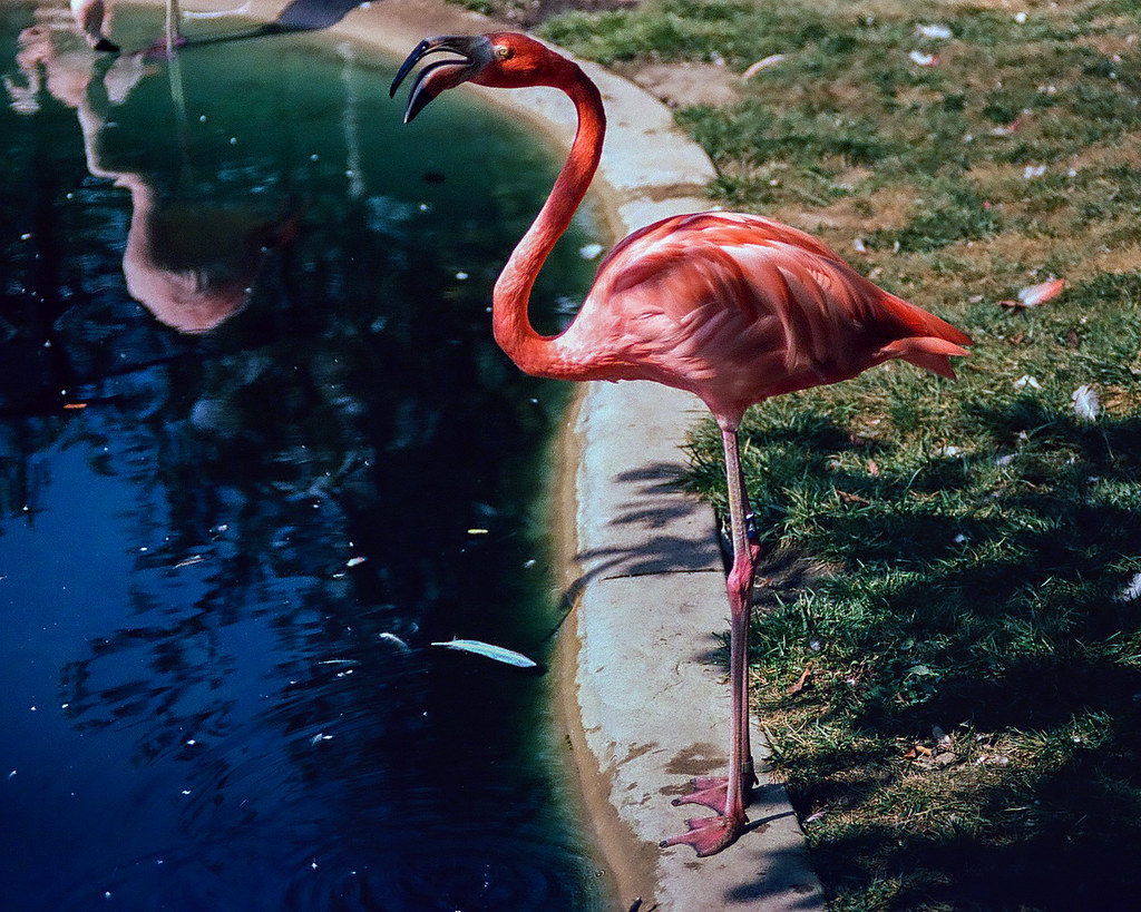 Flamingo(es)