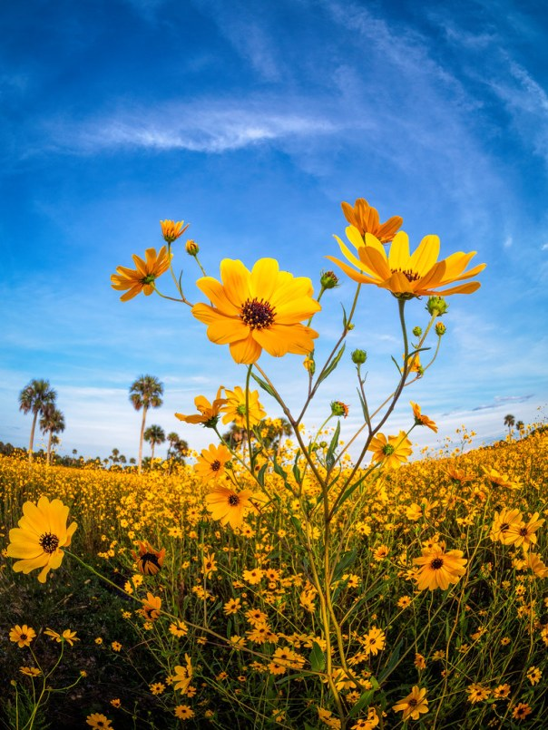 Lake Jesup Wildernes Area - Swamp Sunflowers
