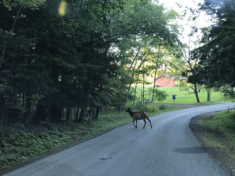 Elk crossing road in Benezette, Pennsylvania