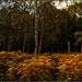 Birch Woods.