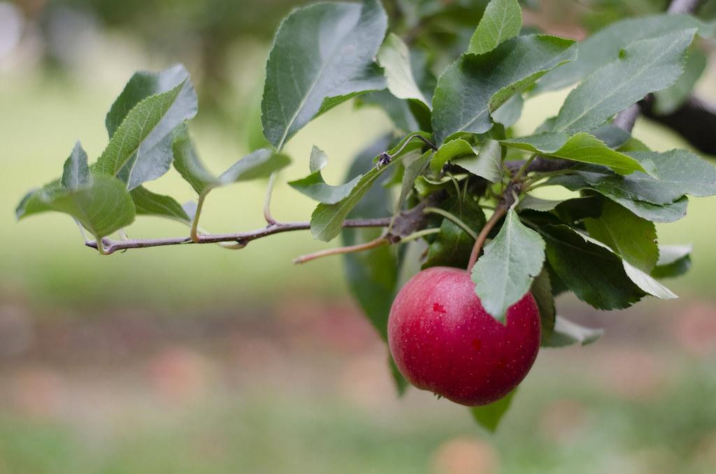 apple picking - 3