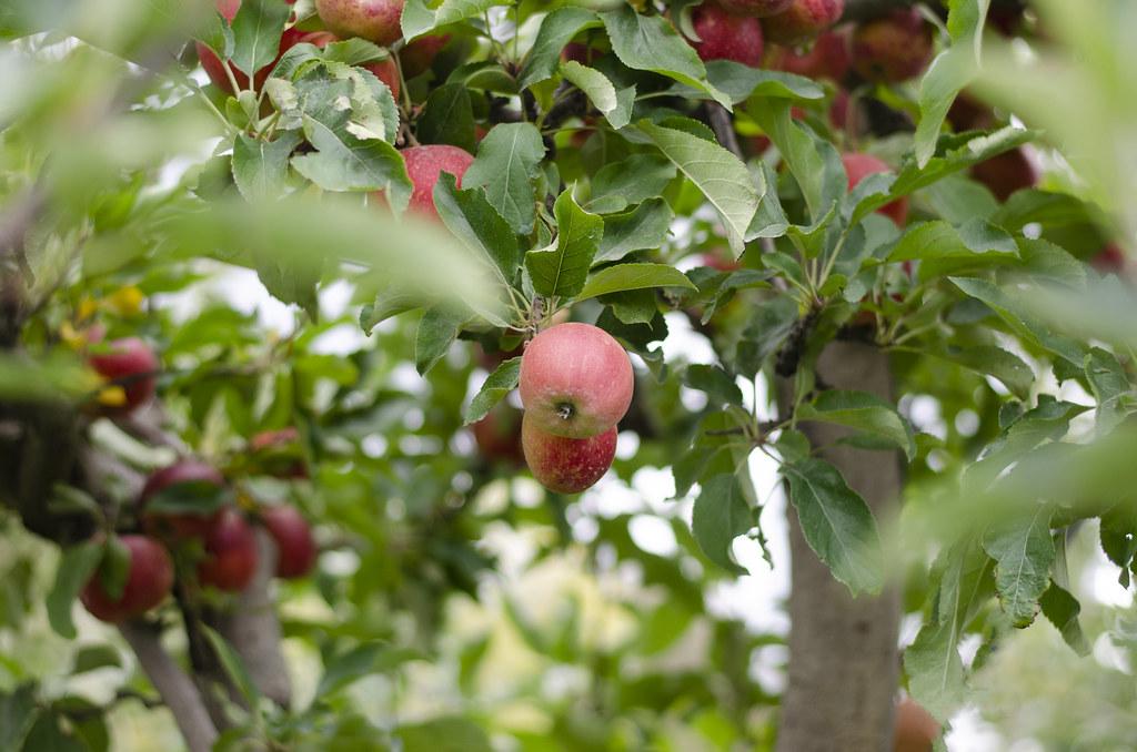 apple picking - 2