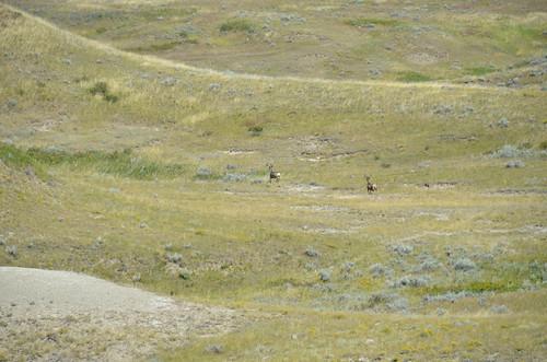 Grasslands East - Elk on Red Buttes Route
