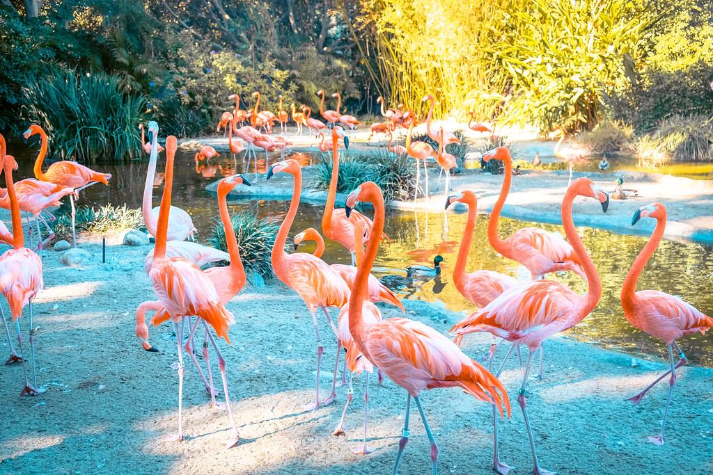 Flamingos at San Diego Zoo | Best views in San Diego