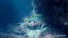 Escorball (Sciaena umbra)