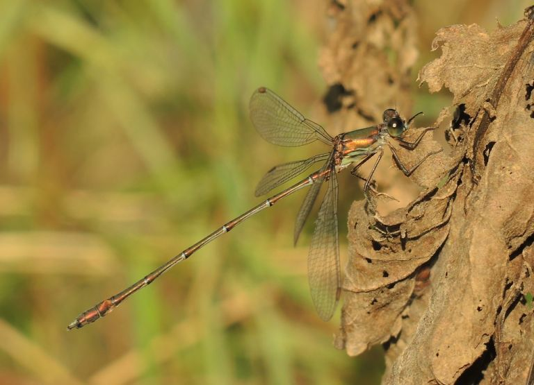 Western Willow Emerald (Lestes viridis) Male