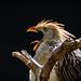 Open beak