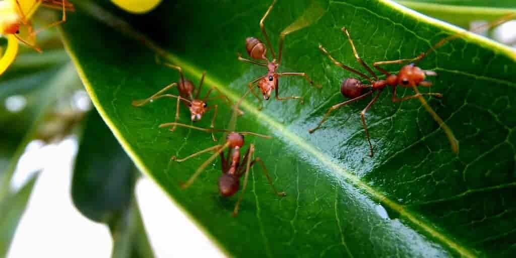 les-fourmis-protègent-les-plantes-antibiotiques