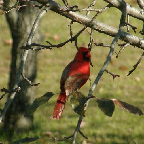 Cardinal 11
