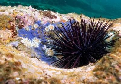 Centrostephanus rodgersii urchin in its hole #marineexplorer #underwatersydney