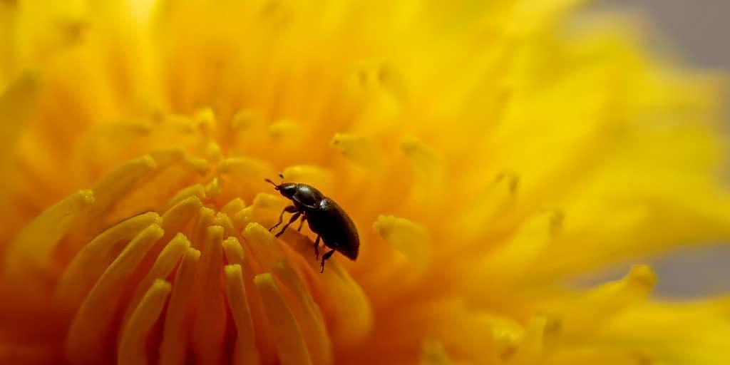 coléoptère-premier-insecte-polliniser-fleurs