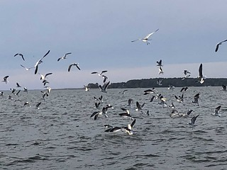 Photo of Birds picking at surface bait fish.